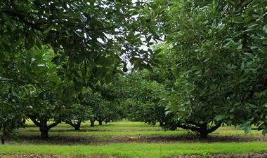 Beautiful Tropical Fruits Commercial Orchard.  For Sale $ 1,695,000 WIWO.