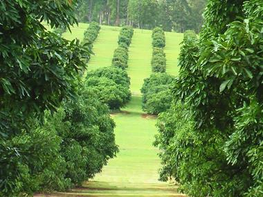Avocado Farm on Prime 100 Acres Volcanic Soil. Expressions of Interest