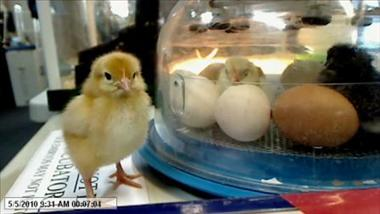 Henny Penny Hatching - Delivering Chick Hatching Programs: Educational and Fun!