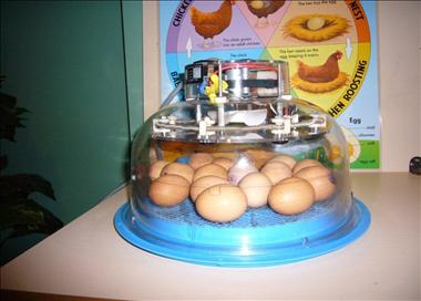 henny-penny-hatching-delivering-chick-hatching-programs-education-al-and-fun-2