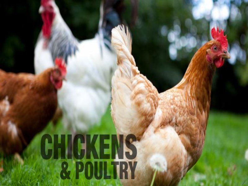 Opportunity to start Fresh Poultry $35,000 (1308072G)